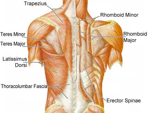 A diagram of the major upper back muscle groups